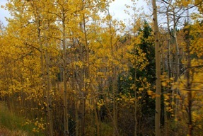 The aspens changing color