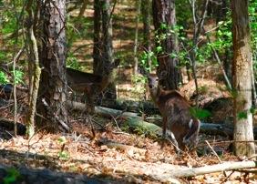 Deer at Ulmstead Park