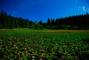 Lilypads on Beaver Lake