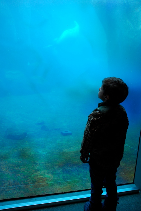 A little boy is mesmerized by the seals